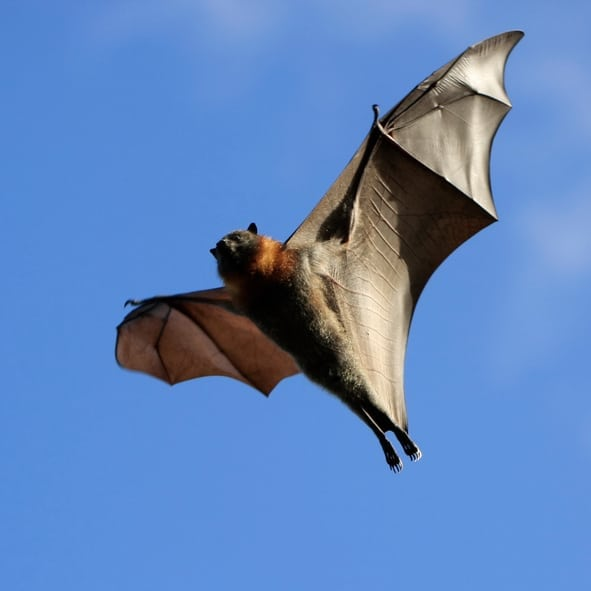 Australian Flying Fox Hands Flying Fox - Au...