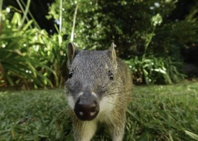 southernbrownBandicootquenda28March2017JoanneBrazier-7