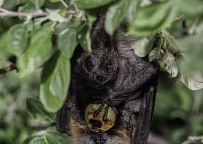 Grey-headed Flying-fox_MarciaRiederer_Jan2017-14