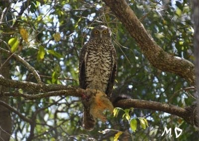 Powerful Owl, Michael, Sep 2016, Bunyaville Qld_LI