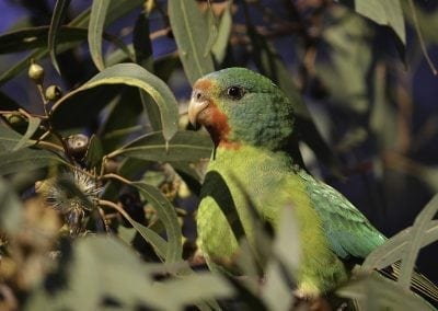 Swift Parrot - Beau Meney - June 2, 2016-1