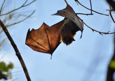 greyheaded flying fox teneale hayes 10 august 2016