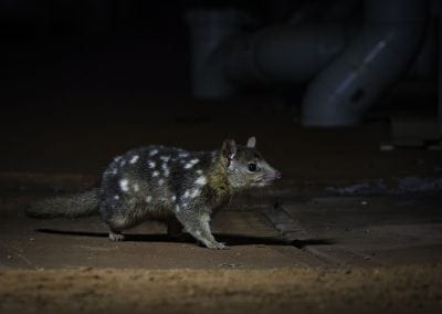 ADAM BRICE-NORTHERN QUOLL-26062018-27