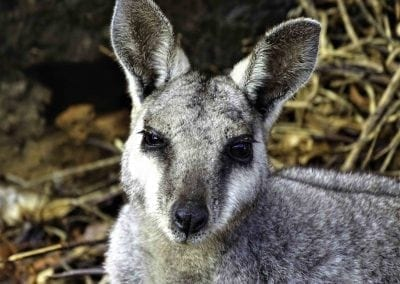 Black_flanked_rock_wallaby_JenniferSmith_21082017-1