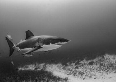 Great White Shark_Tom Burd_ 2-34